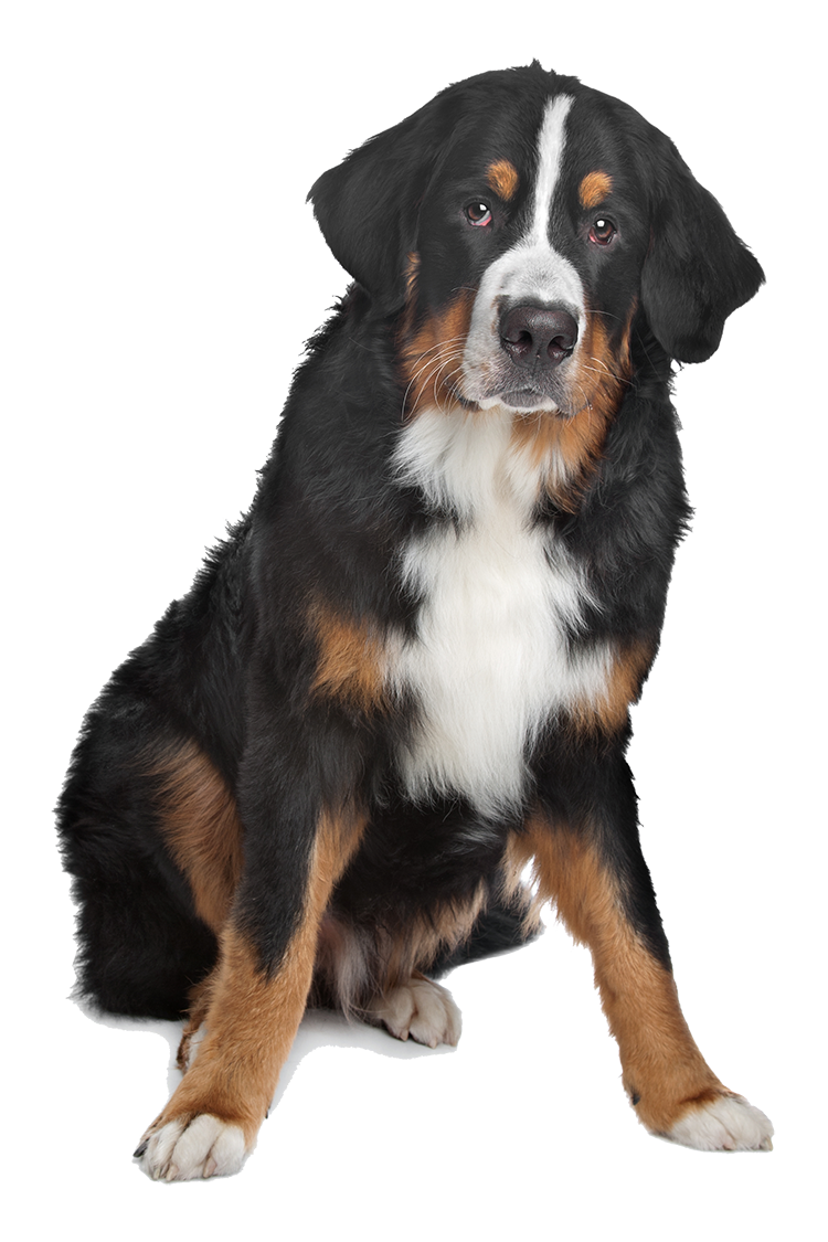 Mixed breed black, brown, and white dog on isolated background.