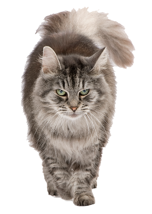 Fluffy maine coon cat isolated on transparent background.
