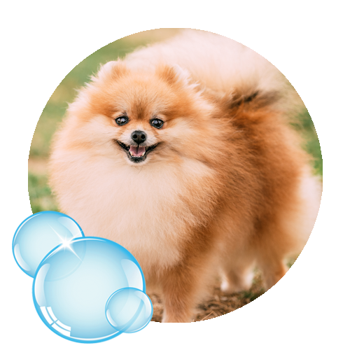 Small Pomeranian dog standing outside with a smile.