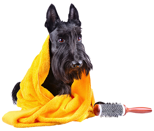 Black schnauzer with grooming supplies on isolated background.